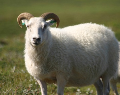 Lamb With Horns