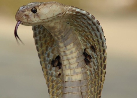 cobra-head