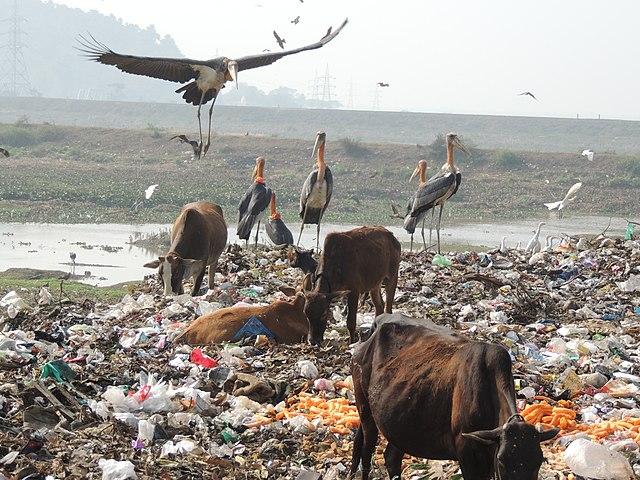 Birds Scavenging a Dump